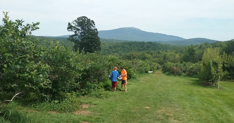 Two young boys picking blueberries with Mt. Monadnock in the background