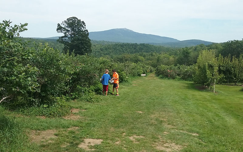 Boys picking blueberries with Mt. Monadnock in the background